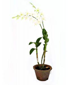 Dendrobium Bon White