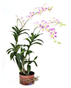 Dendrobium Lucy Pink