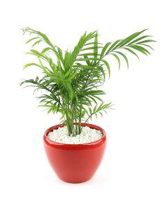 Bamboo Palm-A