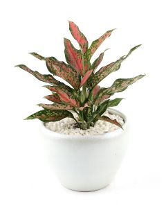 Aglaonema Red Passion