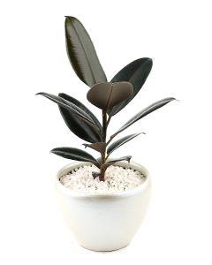 Ficus Elastica-B