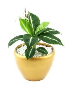 Spathiphyllum-A