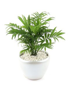 Bamboo Palm-B