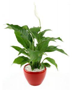 Spathiphyllum-B