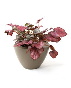 Begonia Red Mix