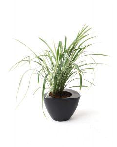 Carex-A