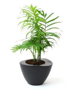 Bamboo Palm-C