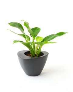 Philodendron Imperial Gold