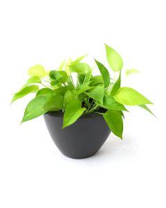 Money Plant-A