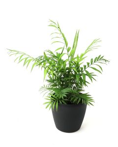 Bamboo Palm-D