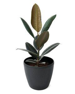 Ficus Elastica-C