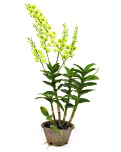 Dendrobium Jade Green