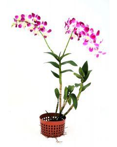 Dendrobium Bon