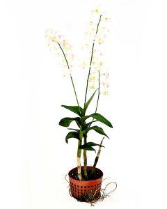 Dendrobium Cinta Sweet