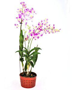Dendrobium Medium Purple