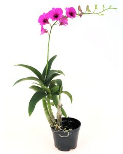Mini Orchid Dark Purple