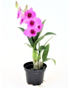 Mini Orchid Purple