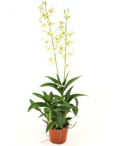 Mini Orchid White