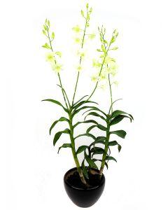 Dendrobium Bon White on Black Pot
