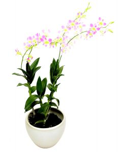 Dendrobium Lucy Pink on Champagne Pot