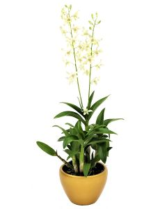 Mini Orchid White on Gold Pot