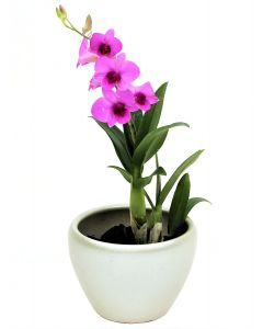Mini Orchid Purple on Champagne Pot