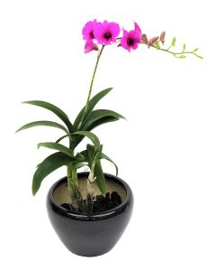 Mini Orchid Dark Purple on Black Pot