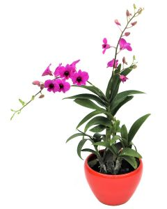 Mini Orchid Dark Purple on Red Pot