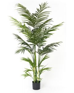 Areca Palm Potted-5.5'